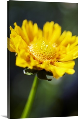 Gazania, Beautiful Yellow Blossom