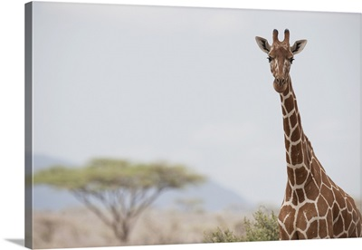 Giraffe (Giraffa Camelopardalis) In Samburu National Reserve; Kenya, Africa