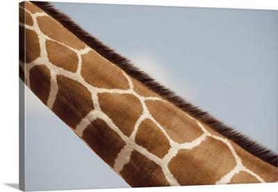 Giraffe's Neck, Kenya, Africa