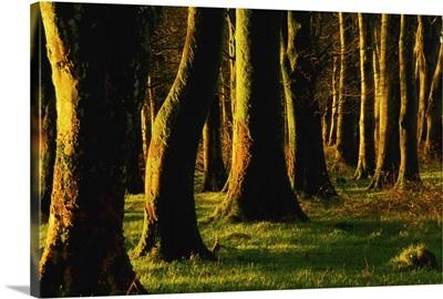 Glenville Woods, County Cork, Ireland; Tree Trunks In Forest