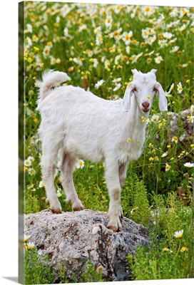 Goat In A Field On The Site Of Ancient Patara, Lycian Coast, Turkey