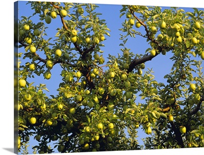 Golden Delicious apples on the tree, ripe and ready for harvest, Monitor, Washington