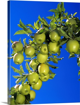 Golden Delicious apples on the tree, ripe and ready for harvest, Washington