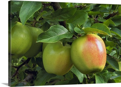 Golden Delicious apples with blush, on the tree, ripe and ready for harvest, Washington
