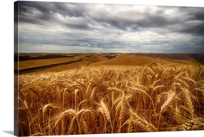 Golden wheat fields under a cloudy sky, Palouse, Washington, United States of America