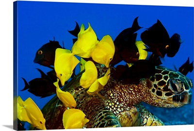 Goldring Surgeonfish And Yellow Tangs Cleaning Algae From Shell Of A Green Sea Turtle