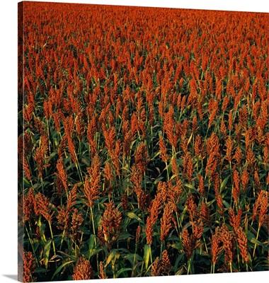 Grain sorghum field in late afternoon light showing red ripe heads, Nebraska