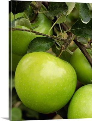 Granny Smith apple on the tree, ripe and ready for harvest, Washington