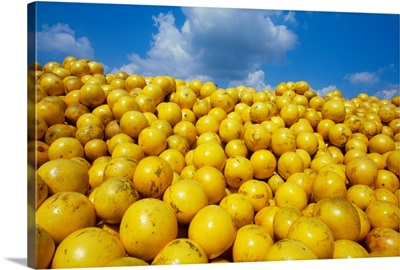 Grapefruit piled up in a truck at a juice plant awaiting processing, Florida