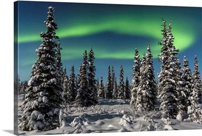 Green Aurora Borealis over the tops of black spruce trees, interior Alaska, Gakona