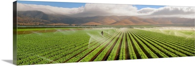 Green Leaf lettuce field being sprinkler irrigated, with the Coastal mountains