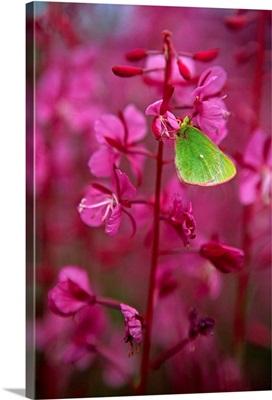 Green Moth On Fireweed Plant, Yukon, Canada
