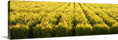 Green wheat field beginning to ripen, Idaho