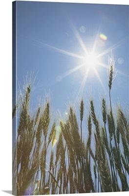 Green Wheat Field, Central Alberta, Canada