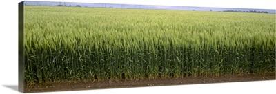 Green wheat field, South Central Colorado