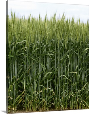 Green wheat, South Central Colorado
