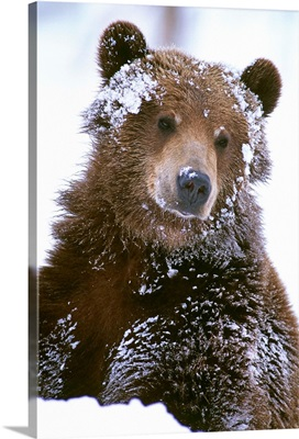 Grizzly bear standing with face covered in snow