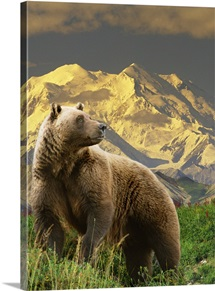 Grizzly stands on tundra with Mt. Mckinley in the background, Alaska