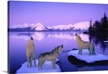 Group of Howling Wolves Winter