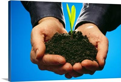 Hands holding a grain corn seedling growing in rich black soil