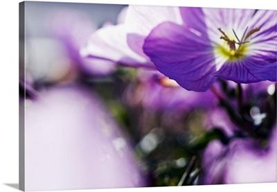 Hardy Geranium Mayflower, Close-Up Of Purple Blossoms
