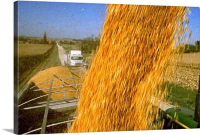 Harvested grain corn is aguered from a grain wagon