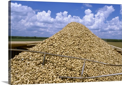 Harvested peanuts piled up in a truck, Georgia