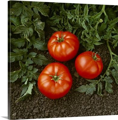 Harvested vine ripened fresh market tomatoes
