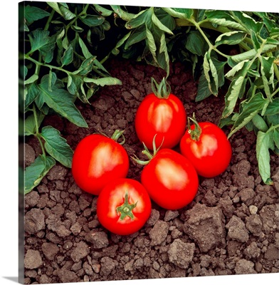 Harvested vine ripened processing tomatoes and tomato vines, California