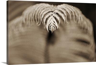 Hawaii, Big Island, Closeup of hapu'u tree fern tip, Selective focus