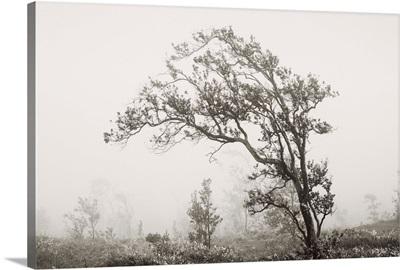Hawaii, Big Island, Crater Rim Road, Ohi'a Lehua Tree In Fog