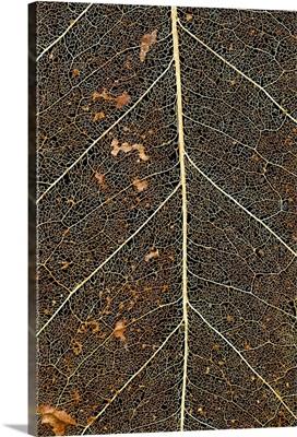 Hawaii, Big Island, Macro detail of a Kona Coffee leaf