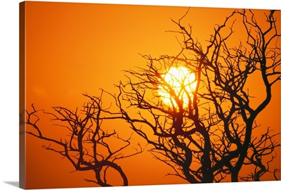 Hawaii, Branches Of Keawe Tree Silhouetted Against Sunset