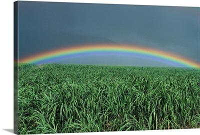 Hawaii, Brilliant Rainbow Over Fields Of Sugarcane, Misty Skies