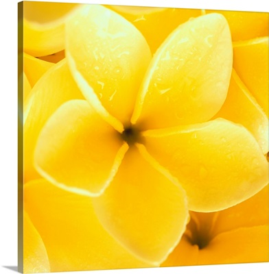 Hawaii, Close-Up Detail Of Yellow Plumeria Flowers