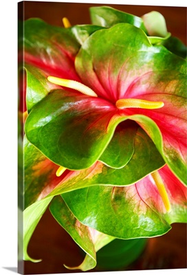 Hawaii, Close-Up Of A Green And Red Anthurium