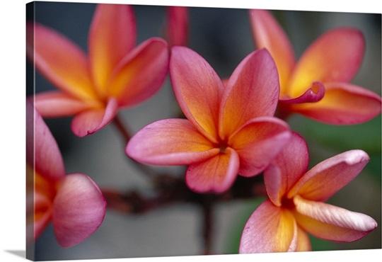 Hawaii close up of pink yellow plumeria flowers on plant outdoor hawaii close up of pink yellow plumeria flowers on plant outdoor mightylinksfo