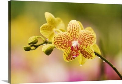 Hawaii, Close-Up Of Yellow Spotted Orchids With Dewdrops