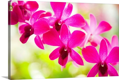 Hawaii, Closeup Of Orchid Lei