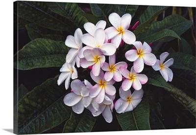 Hawaii, Cluster Of White Plumeria Flowers On Tree