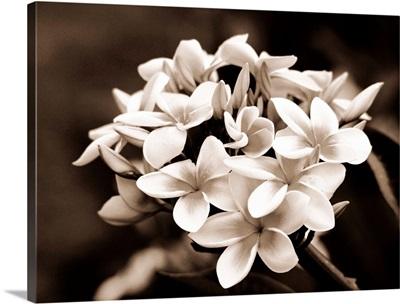 Hawaii, Cluster of white plumeria (frangipani) flowers on tree