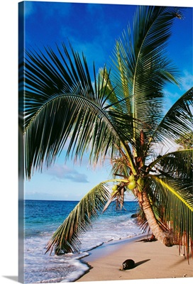 Hawaii, Coconut Laying On A Sandy Tropical Beach Beneath A Palm Tree