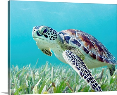 Hawaii, Green Sea Turtle (Chelonia Mydas) An Endangered Species