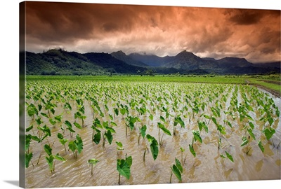 Hawaii, Kauai, Hanalei, Afternoon Threatening Clouds Hang Over A Taro Field