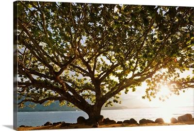 Hawaii, Kauai, Hanalei Bay, Large Tree On Beach, Sun Shining
