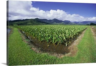 Hawaii, Kauai, Hanalei Valley, Taro Fields With Mountains Background