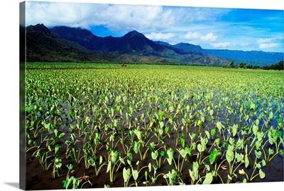 Hawaii, Kauai, Hanalei Valley, Wet Taro Farm