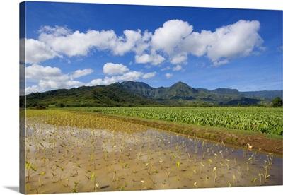 Hawaii, Kauai, Hanalei Valley, Wet Taro Farm, Scenic Mountains And Blue Sky