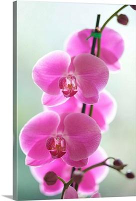 Hawaii, Kauai, Pink Orchids