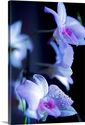 Hawaii, Kauai, White Orchid